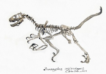 A pen drawing of the skeleton of a Deinonychus dinosaur, coloured in with water colours. (c) 2019 by Eloise O'Hare.